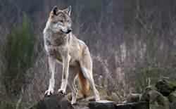 Hoe wolven de loop van de rivier veranderden